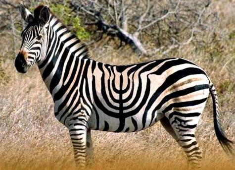 Hannukah Zebra